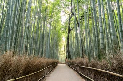 Arashiyama bamboo grove in the morning, Kyoto, Japan